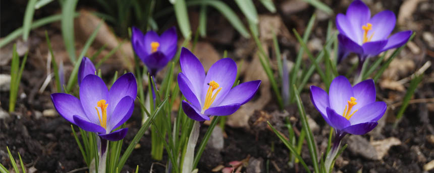 close-up of purple crocus flowers and duff on forest floor