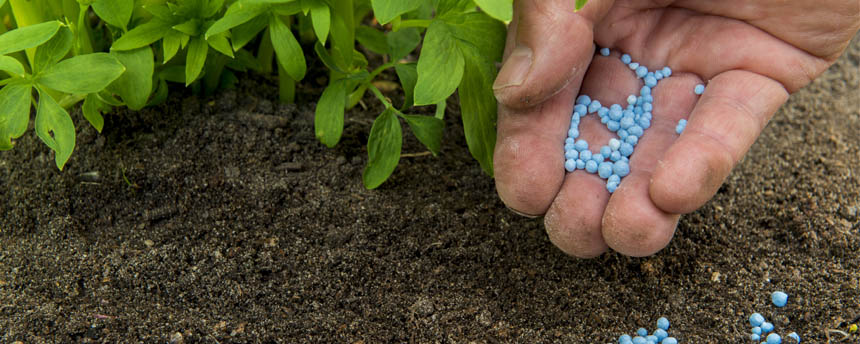 close-up of plant leaves and hand holding blue pellets of fertilizer